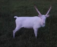 Rare albino reindeer filmed in the wild by drone in Norway