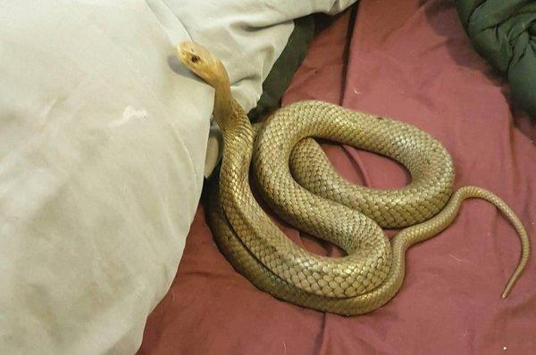 Look Eastern Brown Snake Makes Itself Comfortable In