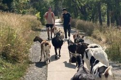 High schoolers help police round up escaped goat herd in Colorado