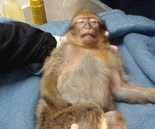 Police Tase chocolate-crazed monkey in France