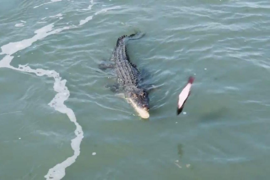 Watch viral video shows croc snaring shark in its jaws upi altavistaventures Images