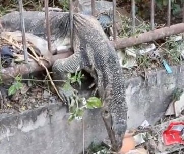 Massive monitor lizard freed from metal bar predicament