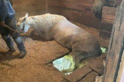 Trapped horse rescued after floor of barn stall gives out