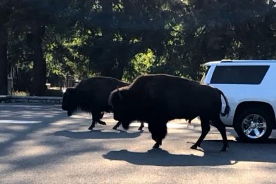 Escaped bison wander through 3 miles of Washington neighborhoods