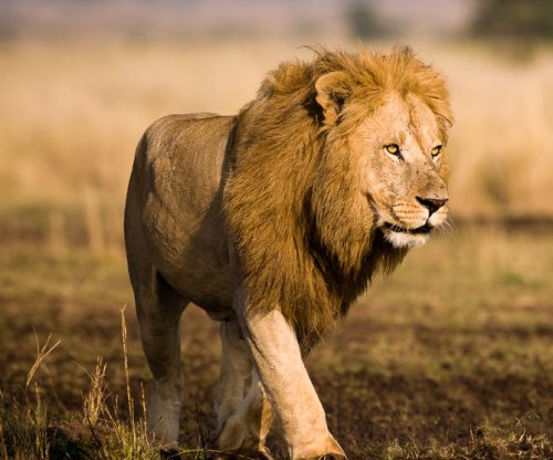 Lions to be reintroduced to Rwanda after two-decade absence