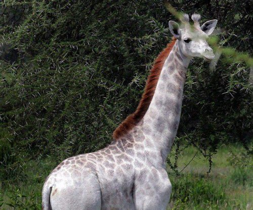 Rare white giraffe seen at Tanzania national park