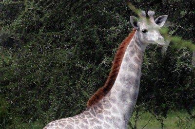 Rare white giraffe seen at Tanzania national park