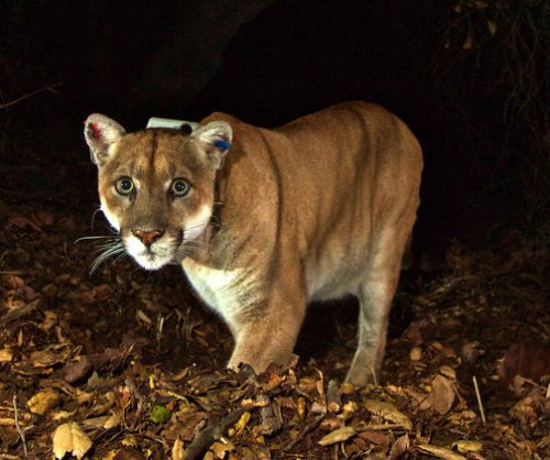 Famous Los Angeles mountain lion refuses to leave home's crawlspace
