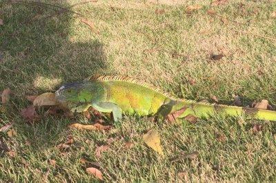 Wandering iguana baffles residents of Louisiana neighborhood