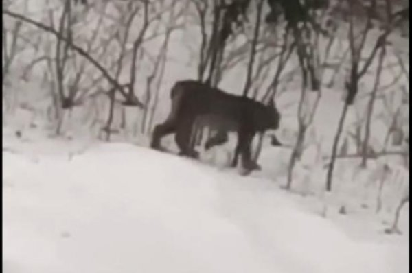 Watch: Animal caught on video in Michigan confirmed lynx