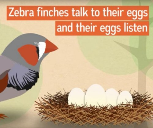 Zebra finches use song to prepare unborn chicks for global warming