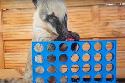 German Coati is Connect 4 'genius'
