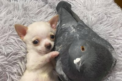 Flightless pigeon befriends puppy that can't walk at New York state rescue