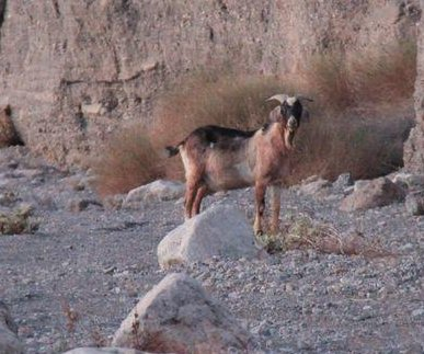 Rangers try to capture wandering goat in Death Valley National Park
