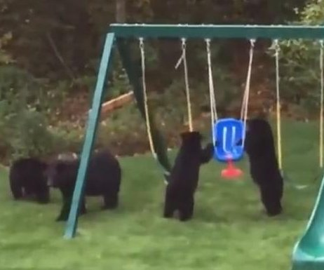 Bear cubs play on Connecticut family's swing set