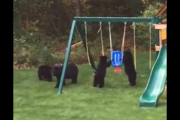 Watch: by Bears set UPI.com backyard swing fascinated -