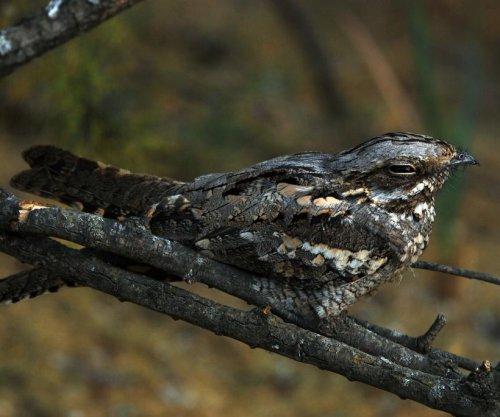 Nightjar's feeding, migration influenced by lunar cycle