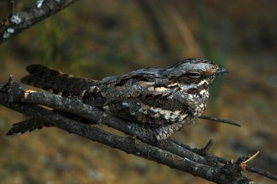 Nightjar's feeding, migration influenced by lunar cycle