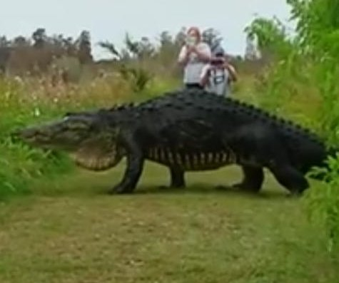 Monster gator recorded at Florida reserve compared to 'dinosaur' and 'Godzilla'