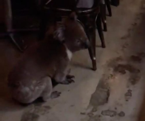 Koala surprises diners by strolling through Australian restaurant
