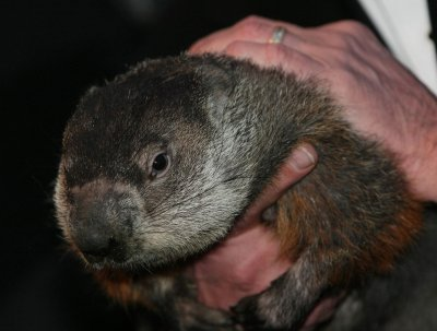 Punxsutawney Phil sees shadow, six more weeks of winter predicted