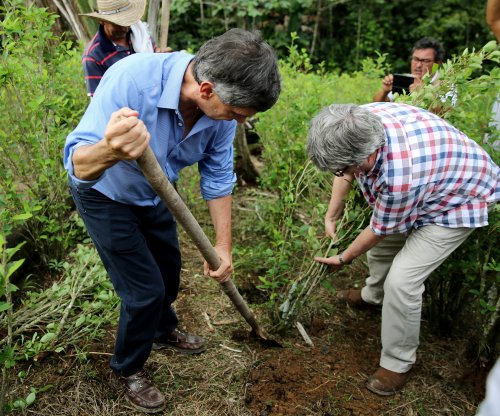 U.N.: Colombia's coca cultivation area increased 52% from 2015 to 2016