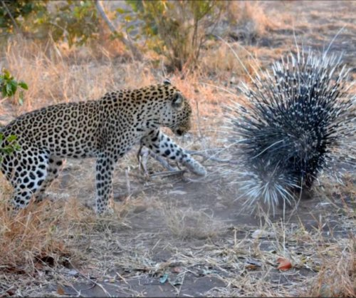 Porcupine wards off hungry leopard in South Africa