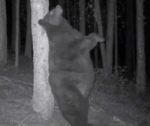 Impressively 'fat' bear squeezes in a final pre-winter back scratch
