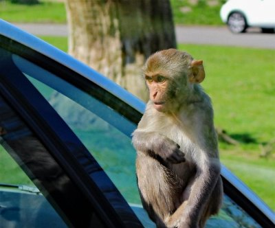 Rhesus monkey on the loose in Tampa Bay area