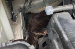 Otter found hiding in engine of parked car in Scotland