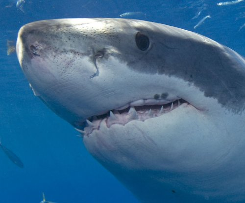 Surfer 'launched into the air' by great white shark