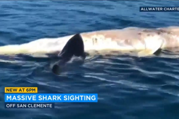 Watch: Great white shark passes boat, snacks on gray whale