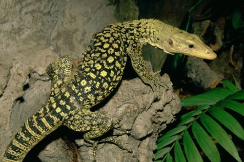 World's largest lizards said at risk from skin and pet trades