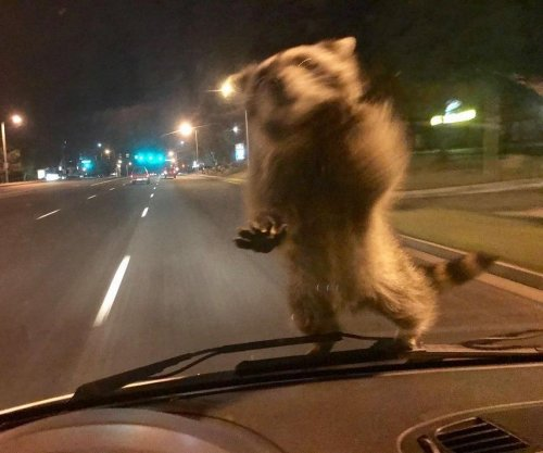 Raccoon hitches ride on hood of moving police cruiser