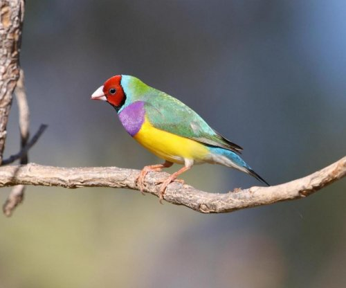 Varying head colors of Gouldian finches explained by unique evolutionary process
