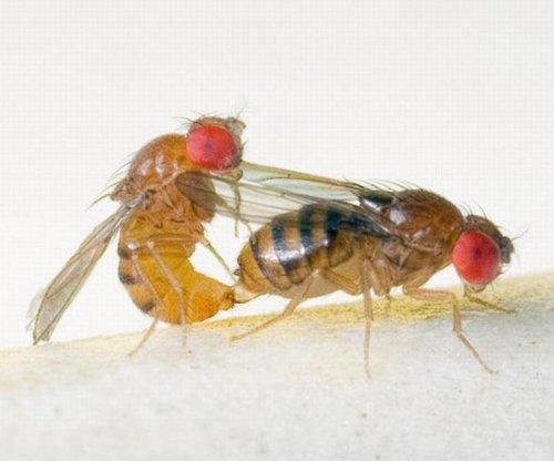 Too much sexual attention harms attractive female flies