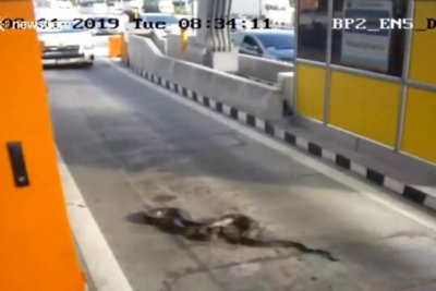 Watch:-Python-makes-an-appearance-at-toll-booth-in-Thailand