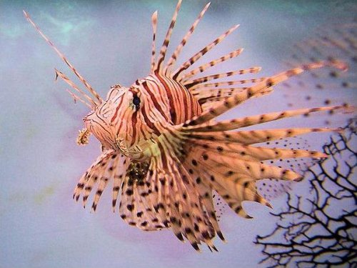 Sixth grader impresses academics with lionfish experiment