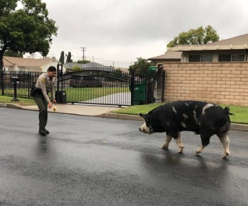 Police use Doritos to lure 'mini horse' sized pig home