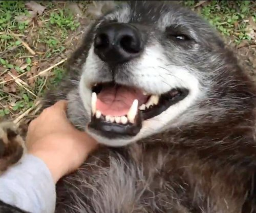 Happy rescued wolf enjoys belly scratch
