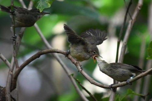 Babysitting birds help elderly warbler parents raise their young