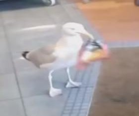 Not-so-sneaky seagull struts into cafe, steals bag of potato chips