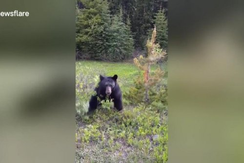 Black bear charges at onlooker's car in Alberta