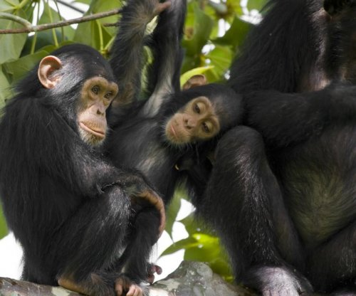 Study: Human brains have more plasticity than chimp brains