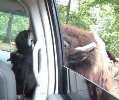 Buffalo shoves tongue through open car window at Missouri park