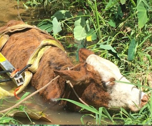 Florida rescuers hoist stuck cow out of deep mud
