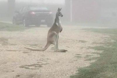 Escaped kangaroo wandered Wisconsin highway