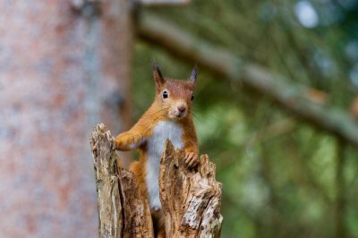 Watch:-Scottish-charity-asking-for-public's-help-with-squirrel-survey