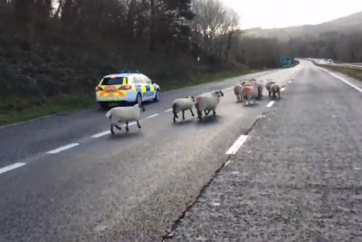 Highway closed when sheep wander into traffic