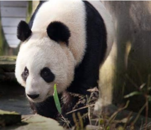 'Strong indications' panda at Scotland zoo may be pregnant